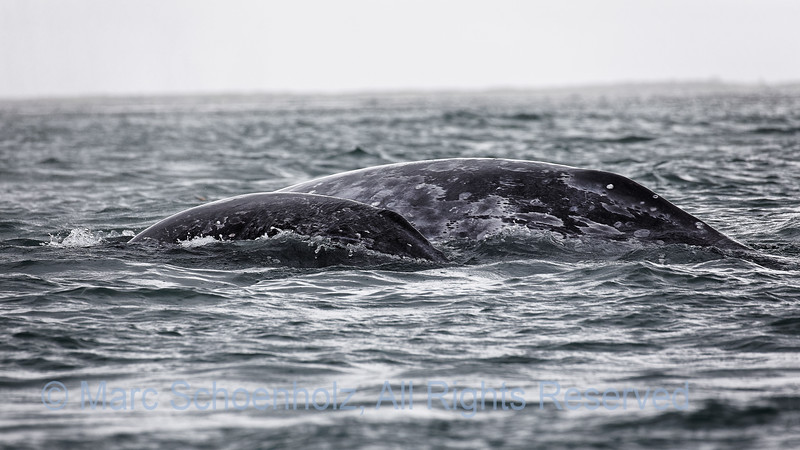 Grey Whales Mother and Calf,