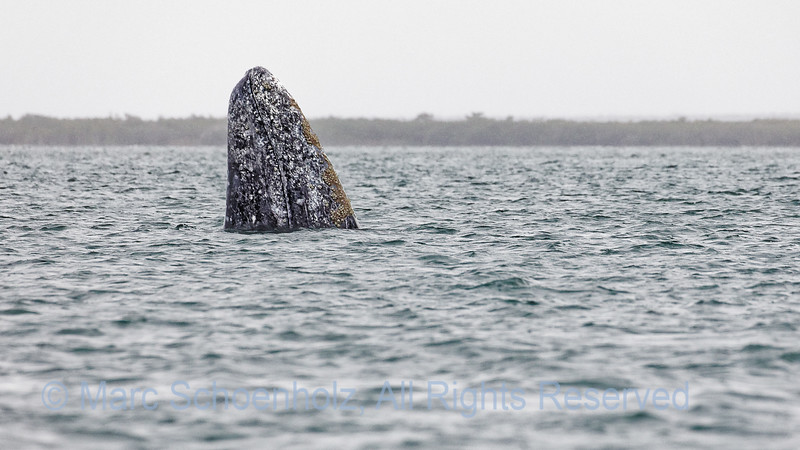 Grey Whale Spyhopping