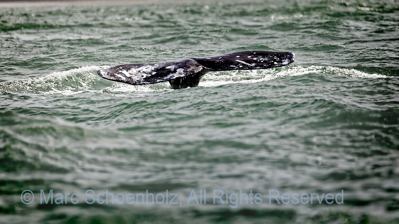 Grey Whale Tail Fluke