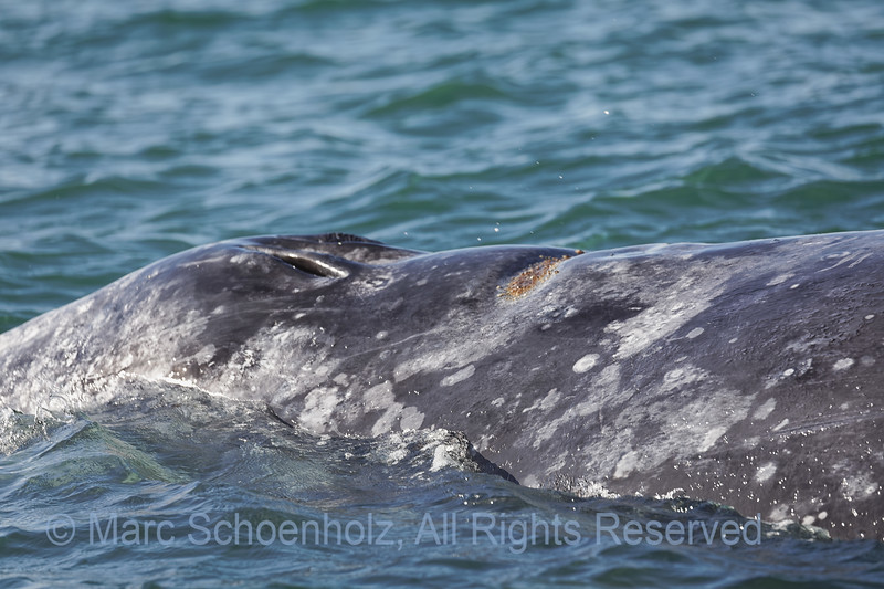 Grey Whale.