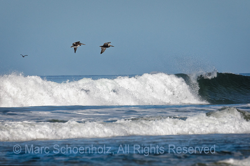 California Brown Pelicans enjoy the view