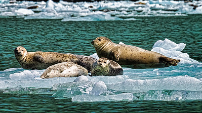 South Sawyer Glacier - floating glacier Ice - with Harbor Seals.