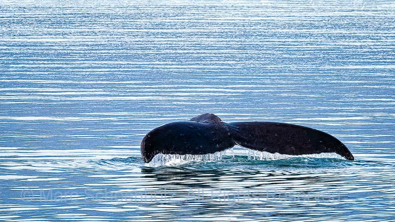 Humpback Whale - Tail Fluke