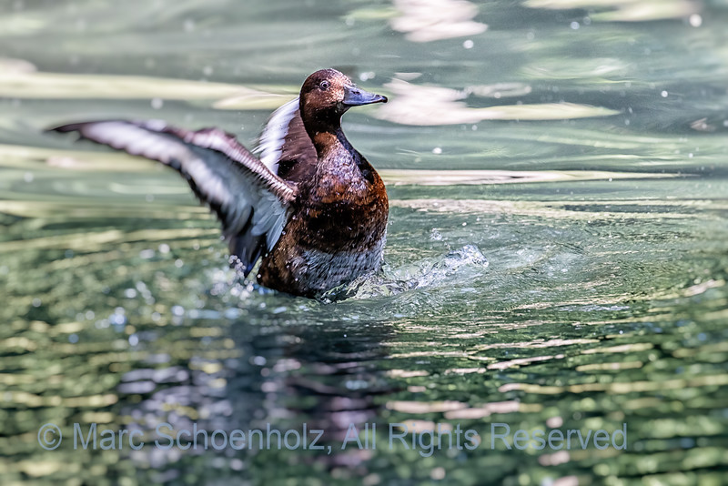 ;  Photographed at:  Bronx Zoo,  Bronx, NY,  June,  2016    © 2016 Marc Schoenholz  Camera:  Canon Canon EOS 7D Mark II Lens:  400 Shutter Speed:  1/400;  Aperture:  5.6 ISO Setting:  800