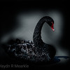 Black Swan at Westport Lake