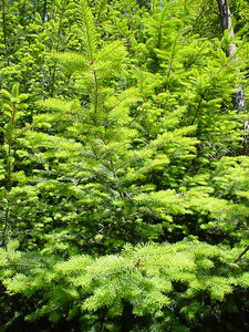 New Growth  A nice backdrop - bright green colours of new growth on a fir tree
