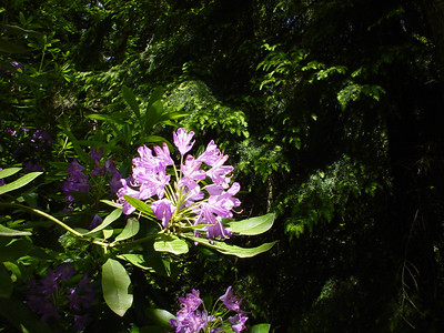 Rhododendron  Close up of the lovely purple rhododendron flowers that punctuate the green of the forest with some colour.