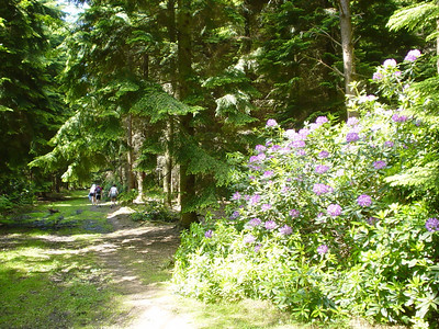 Pretty Flowers  The forest isn't all about green... these plants (rhododendrons) inject a nice bit of colour into the green landscape.