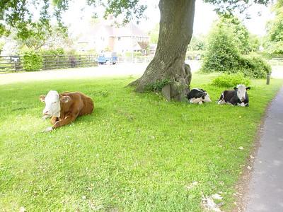 Cows Resting  Nice shady spot