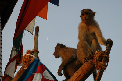 monkey sunrise / Mysore