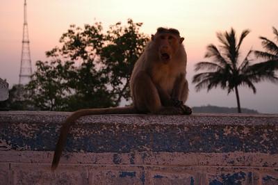 monkey on Charmundi Hill full size