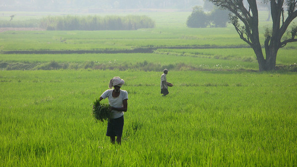 Tending to the rice field, outside Mysore, state: Karnataka, South India.