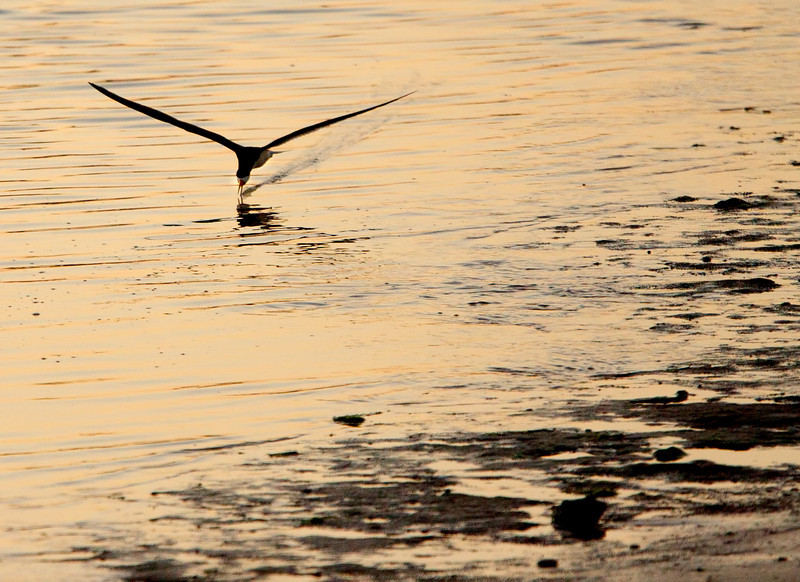 Black Skimmer, Mainer's Point
