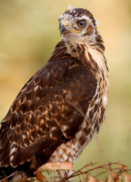Juvenile Red-tailed Hawk Portrait, Anstine Preserve