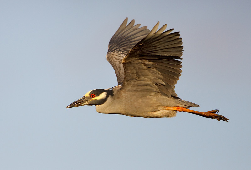 Night Heron in Flight, Tijuana Slough
