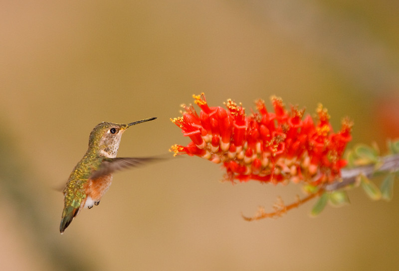 Rufous and Ocotillo Blossom