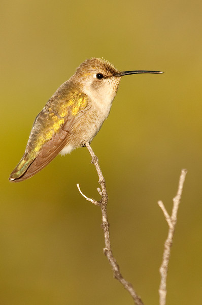 Perched Hummingbird, Catavina
