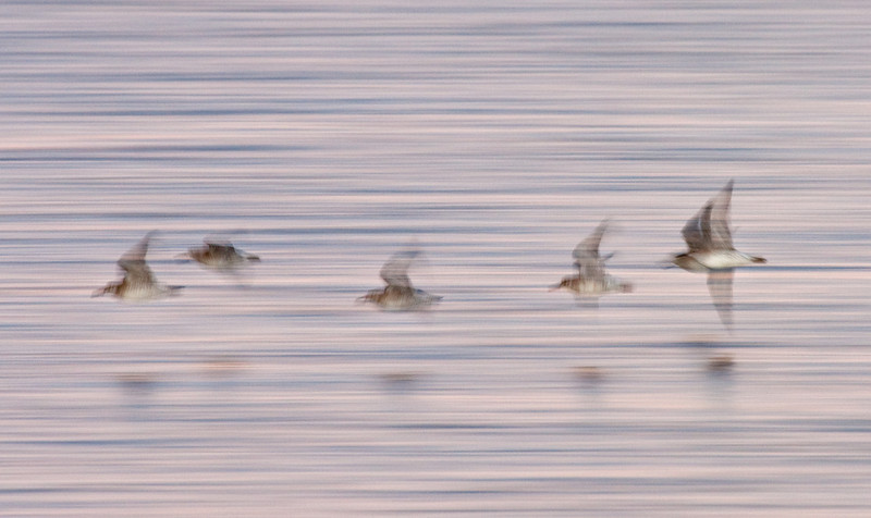 Sanderlings in Flight, Laguna Ojo de Liebre