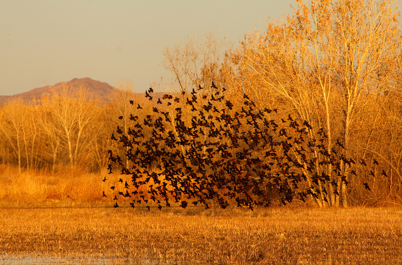 Redwing Blackbird Flock