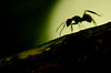 Ant Silhouette, Palenque