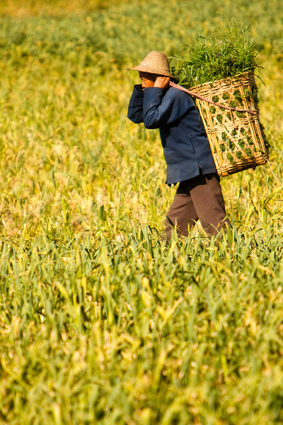 Collecting Crops, Xishuangbanna