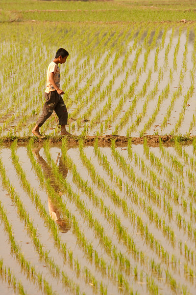 Walking Amongst Rice Paddies, Jinghong