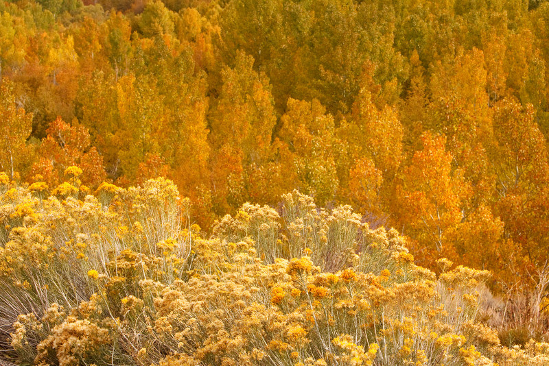 Autumn Yellows, Bishop Creek
