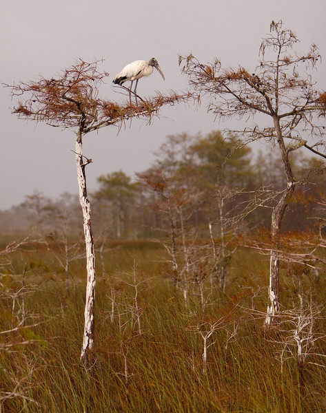 Wood Stork On Cypress