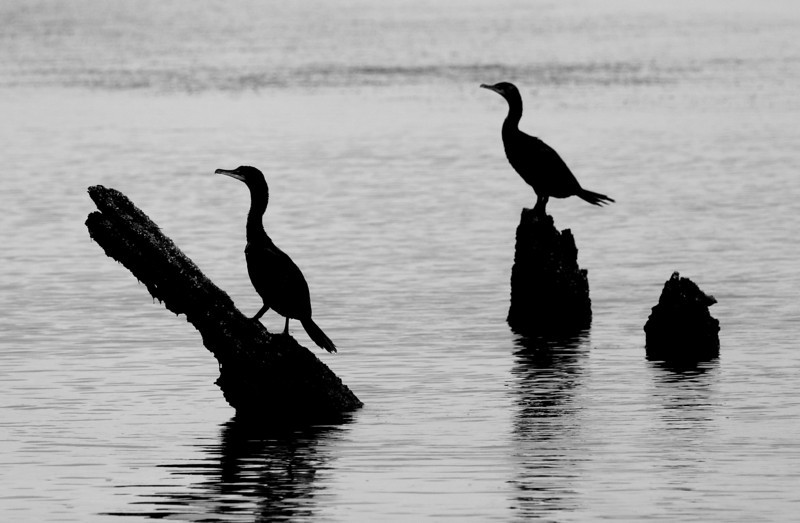 Two Cormorants Perched