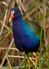 Gallinule Portrait