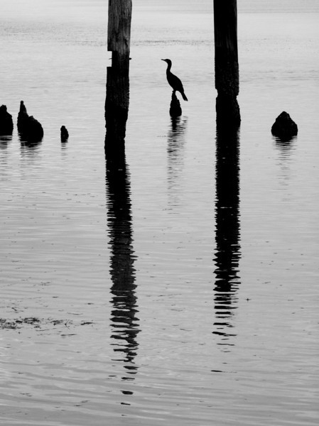 Cormorant and Posts