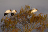 Wood Storks Perched