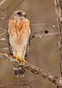 Red-tailed Hawk And Rain