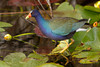 Gallinule on Spatterdocks