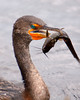 Cormorant with Catch