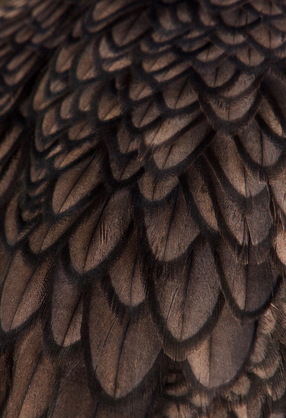 Cormorant Feather Pattern