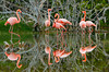 Flamingos Reflected, Isla Isabela