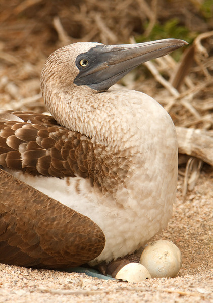 Brooding Blue-Footed Booby, Isla Seymour