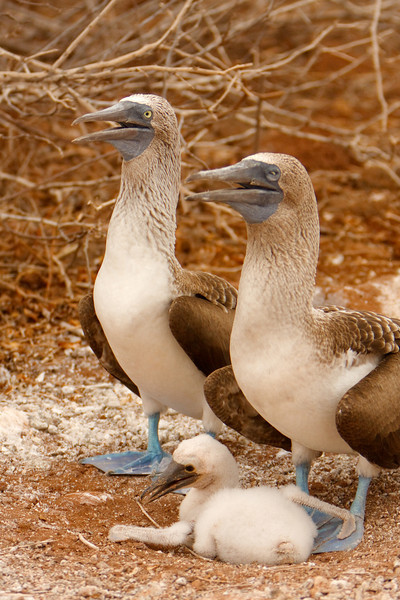 Blue-footed Booby Family, Isla Seymour