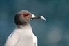 Swallow-tailed Gull Portrait, Isla San Cristobal