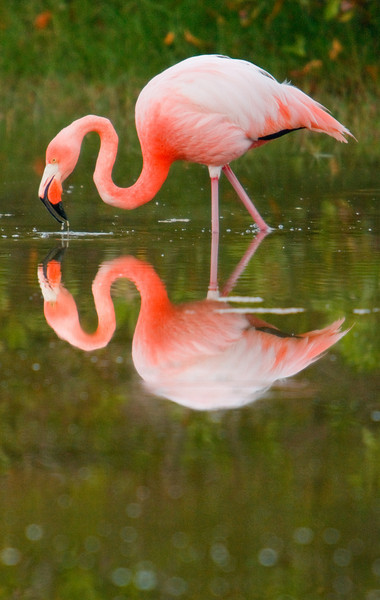 Flamingo and Reflection, Isla Isabela
