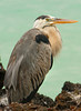 Great Blue Heron, Isla Bartolome