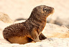 Sandy Sea Lion Pup, Isla San Cristobal