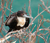 Frigatebird at Rest, Isla San Cristobal