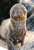 Sea Lion Pup Portrait, Isla San Cristobal