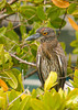 Immature Yellow-Crowned Night Heron, Isla Santa Cruz