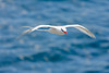 Tropicbird in Flight, Isla San Cristobal