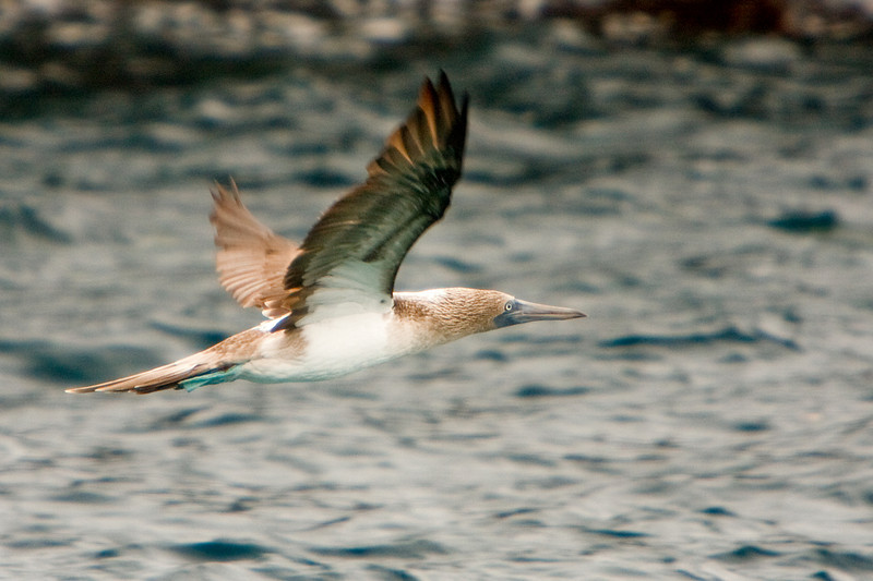Flying Blue-footed Booby, Isla Isabela