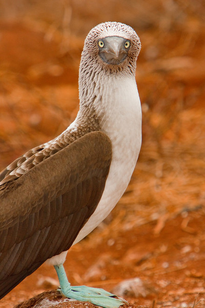 Blue-footed Booby, Isla Seymour