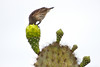 Cactus Finch and Cactus, Isla San Cristobal